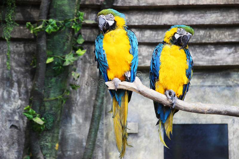 Two parrots ara macaws in jungle. Parrots in captivity stock photo