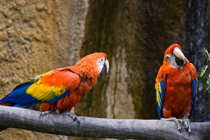 Two parrots bickering. Two parrots are bickering about having some food royalty free stock images