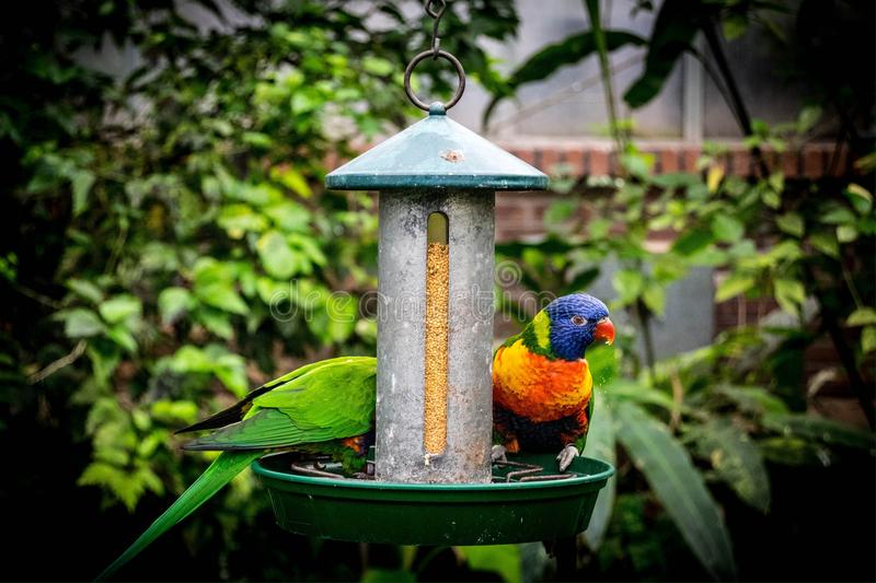 Two parrots eating their seed royalty free stock image