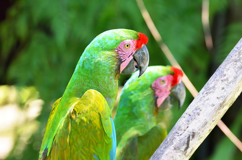 Two parrots green in tropical forest birds stock photography