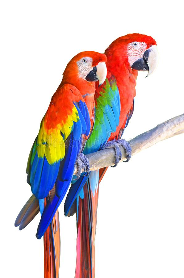 Two parrots red in tropical forest birds sit on a branch isolated on white background. royalty free stock photos