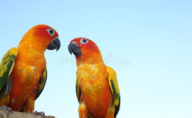 Two parrots on timber. Parakeet on the wood. Cute green bird on stock images