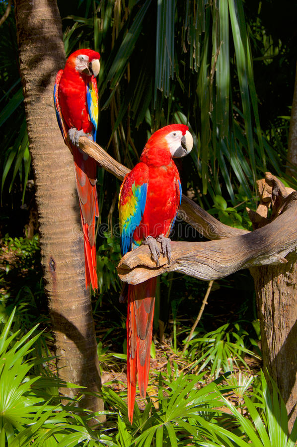 Two parrots on the tree. In the jungle royalty free stock photo