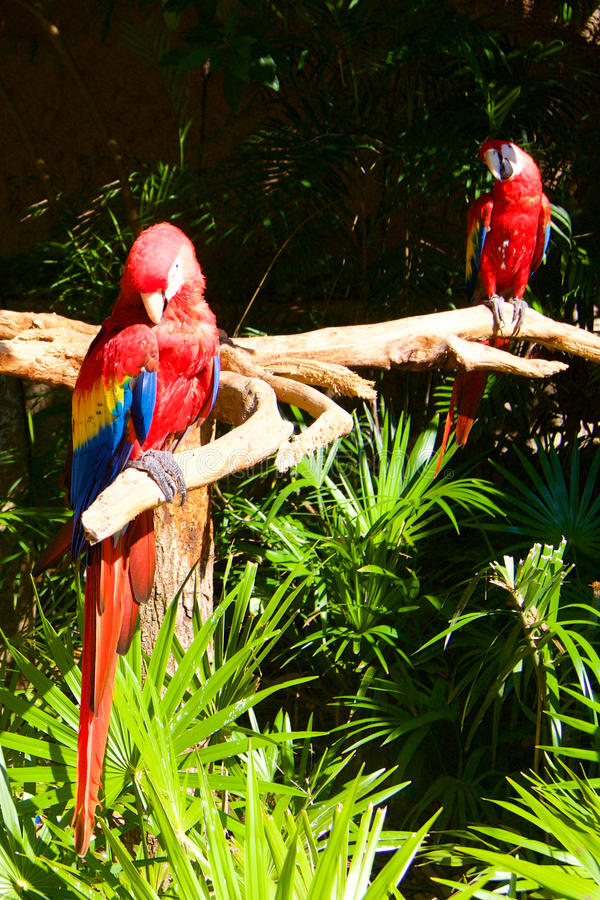 Two parrots on the tree. In the jungle royalty free stock images