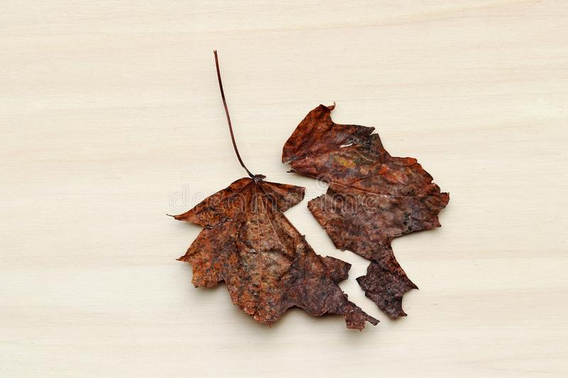 A two-part autumn leaf. A separate sheet royalty free stock image