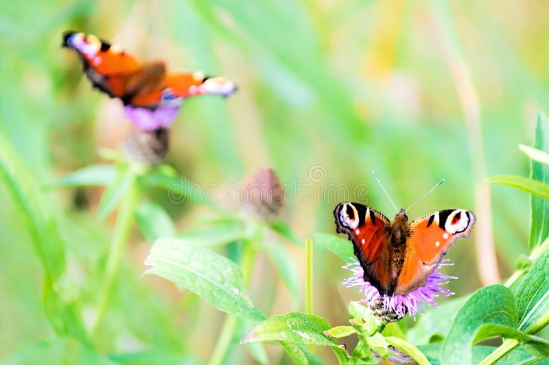 Two peacock butterflies on Scottish thistles royalty free stock photography