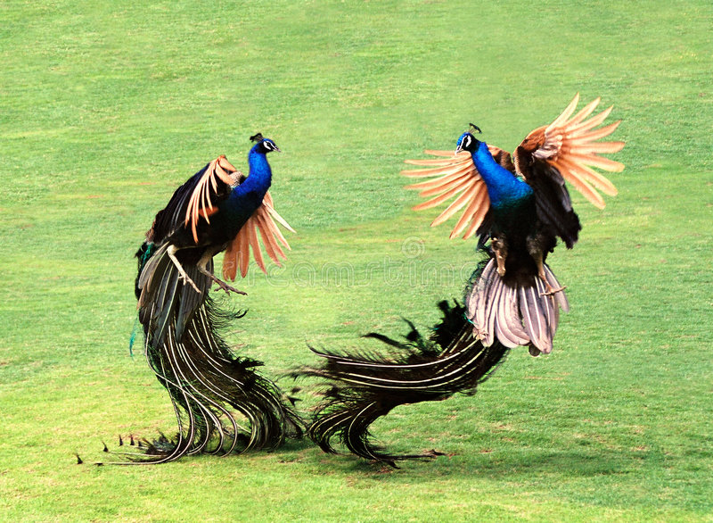 Two Peacocks royalty free stock photo