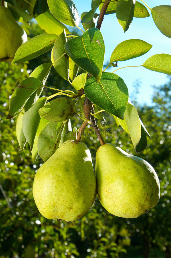 Two pears royalty free stock photos