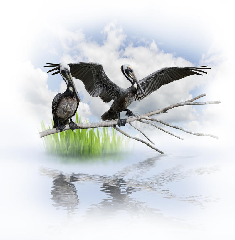 Free Two Pelicans Royalty Free Stock Photography - 30052267
