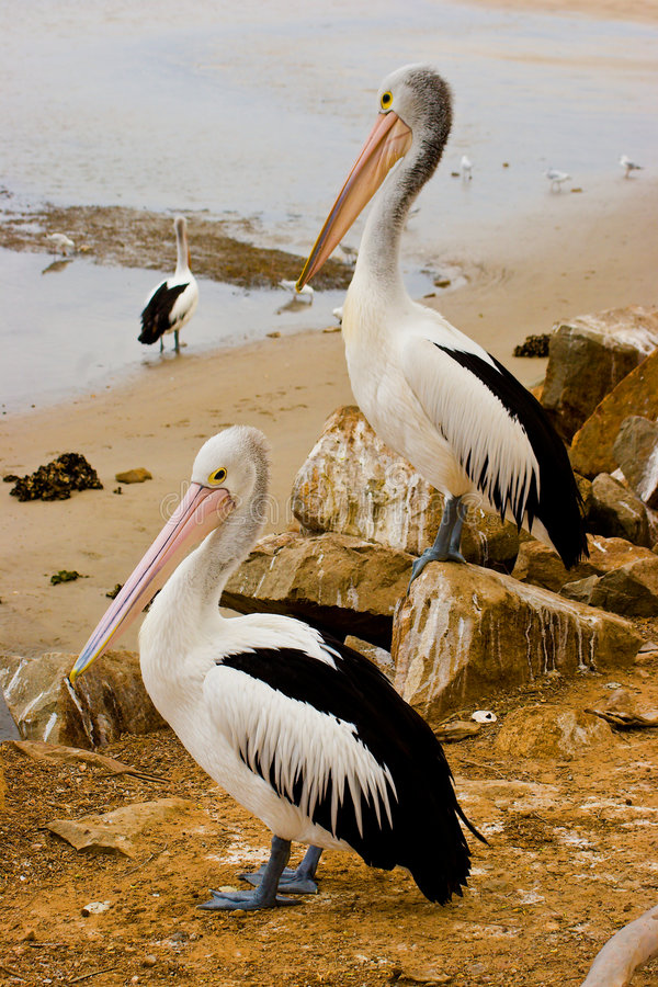 Free Two Pelicans Royalty Free Stock Images - 6113099