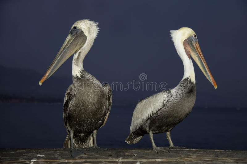 Two Pelicans at night stock images