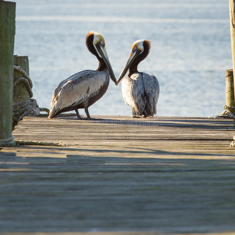 Free Two Pelicans On A Pier Stock Photography - 72114372