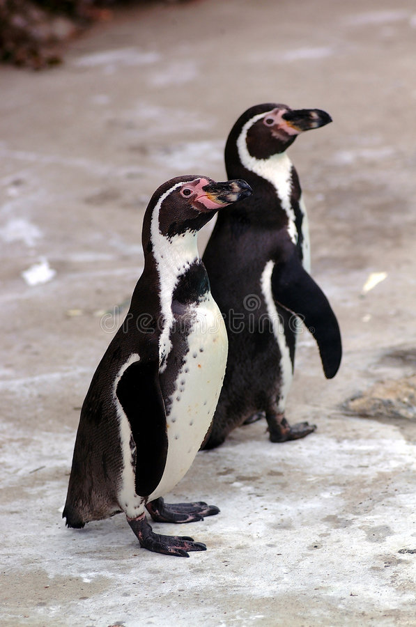 Download Two Penguins Stock Photo - Image: 1424800