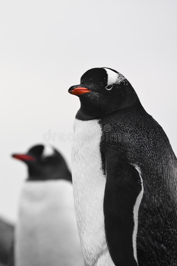 Two penguins stock photo