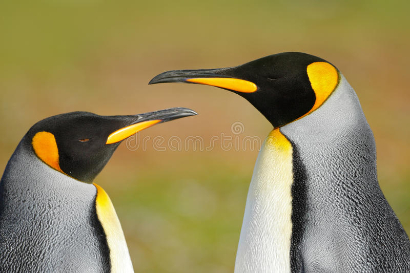 Two penguins. King penguin couple cuddling, wild nature, green background. Two penguins making love. in the grass. Wildlife scene. From nature stock photo