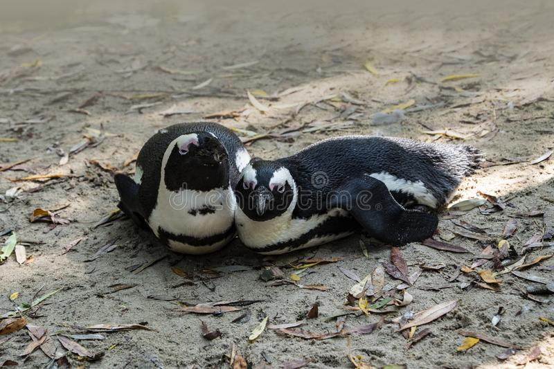 Two penguins in love sitting together royalty free stock images
