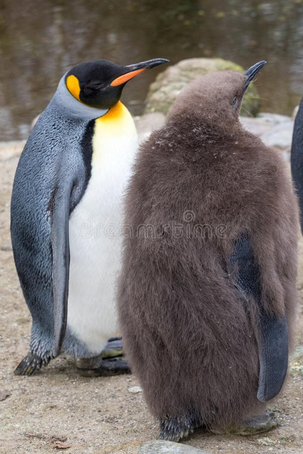 Two penguins and a meeting royalty free stock image