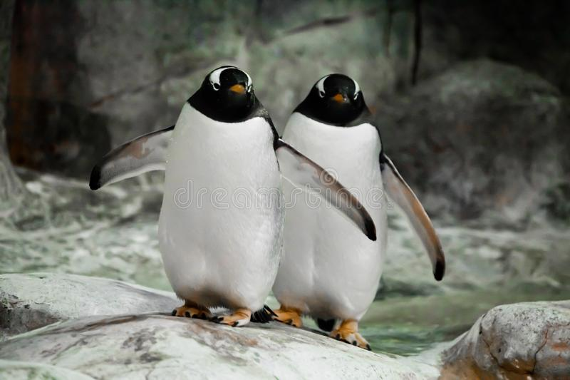 Two penguins are standing side by side spouses, a married couple or friends fat cute sub-Antarctic penguins stand funny stock photography