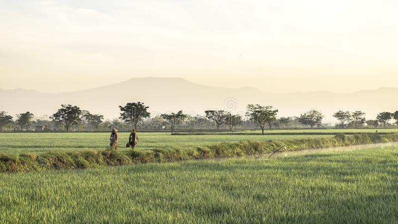 Two people as farmer walking in the middle of very vast, broad, extensive, spacious rice field stock photo