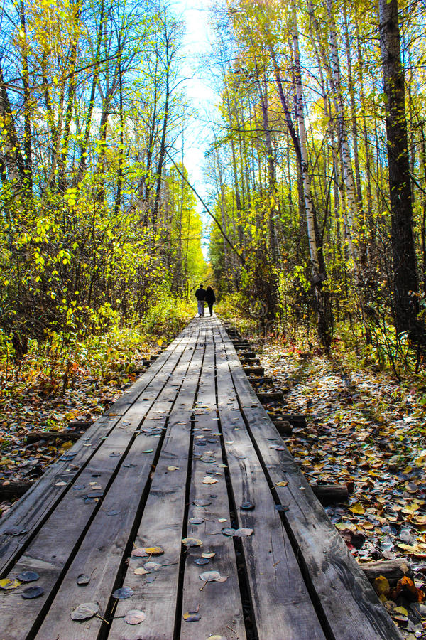 Two people are going on path of wooden boards between autumn pine forest. Two people are going on path of wooden boards between autumn pine and birch forest royalty free stock photo