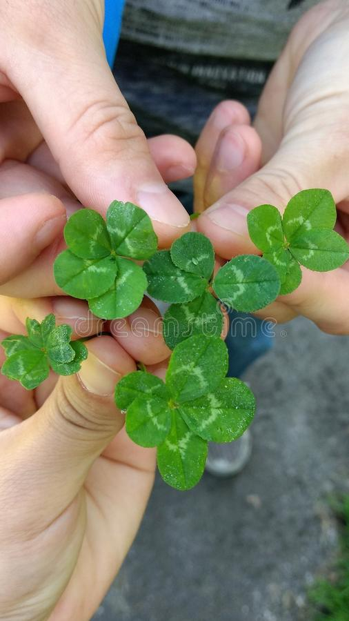 Two people holding a bouquet of four and five leaf clovers stock image