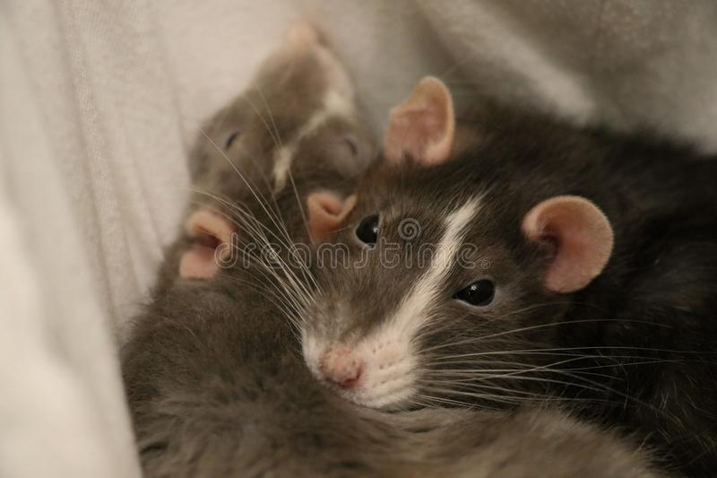 Two Pet Rats Sleeping Together royalty free stock image