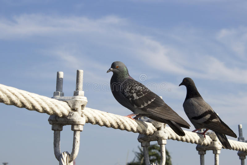 Two Pigeon Alighted On Wire Rope Bridge Stock Photo - Image: 48198748