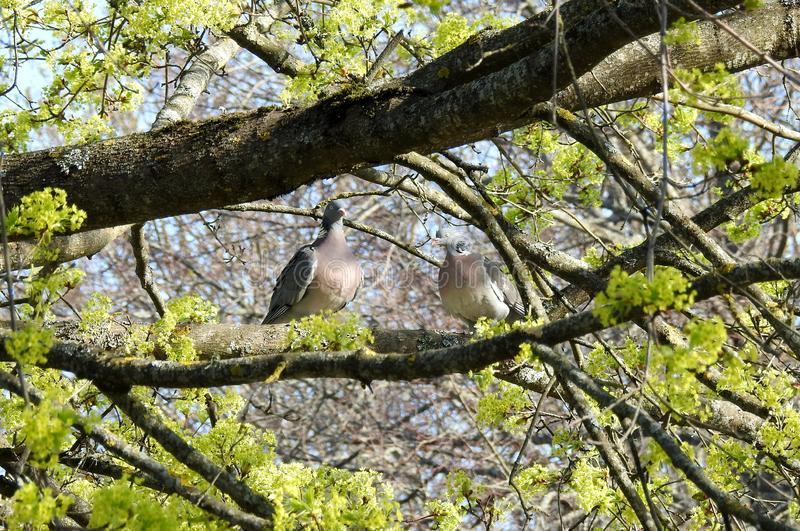Two pigeon birds on tree branch, Lithuania royalty free stock photos