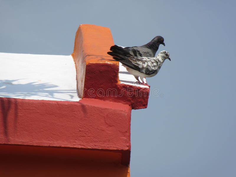 Two pigeon royalty free stock photo