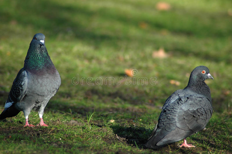 Two pigeons dating