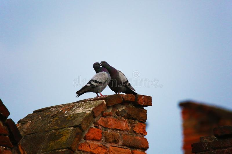 Two pigeons kissing royalty free stock photo