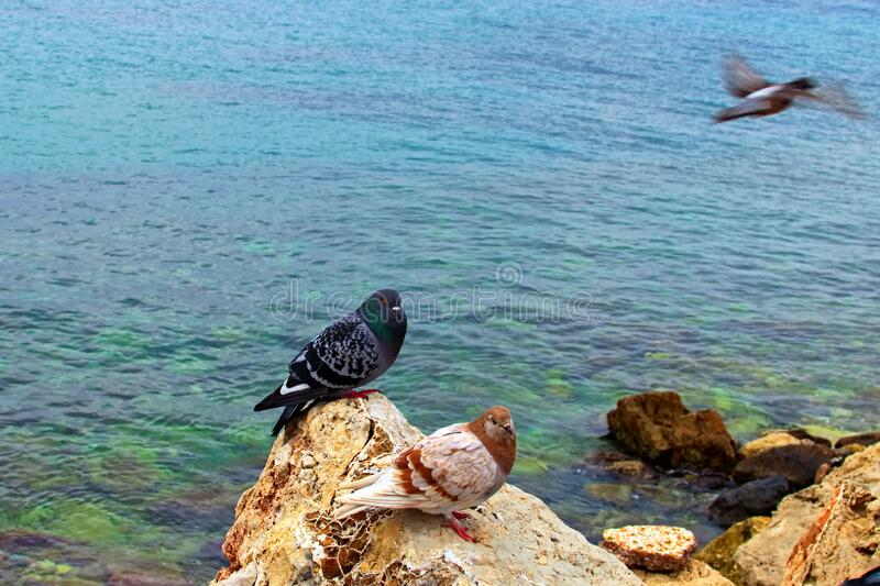 Two pigeons are sitting on a brown rock. Pigeon in natural wildlife. Glyfada Beach and Saronic Gulf in the background. Athens, stock photos