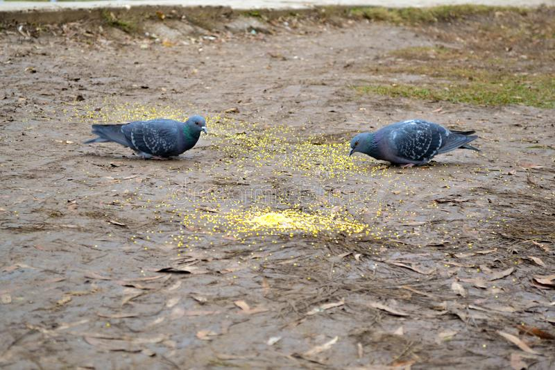 Two pigeons. Are pecking millet in park stock photography