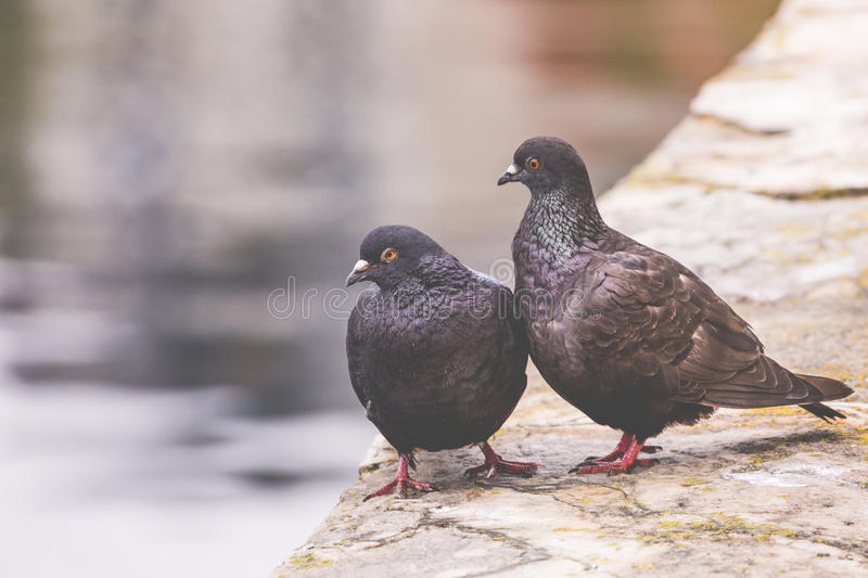 Two pigeons on a wood post show affection towards each other.  stock image