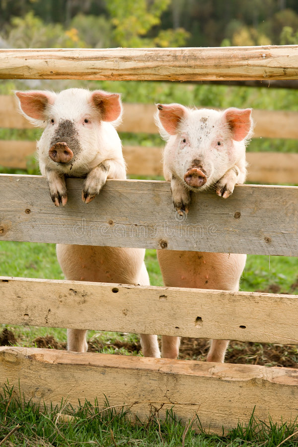 Two Pigs Stock Image