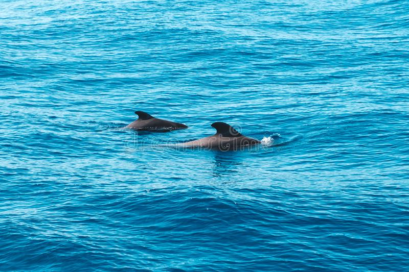 Two pilot whales in ocean looking like dolphins - whale watching royalty free stock image