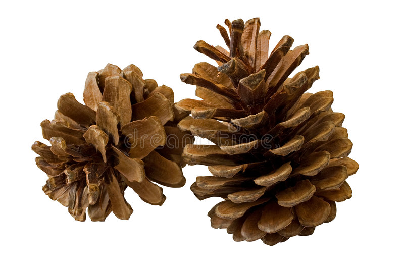 Two pine cones isolated on white royalty free stock photos