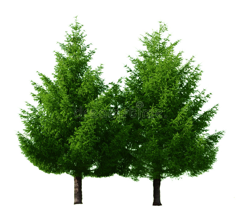 Download Two Pine Trees stock photo. Image of isolated, transparent - 5775538