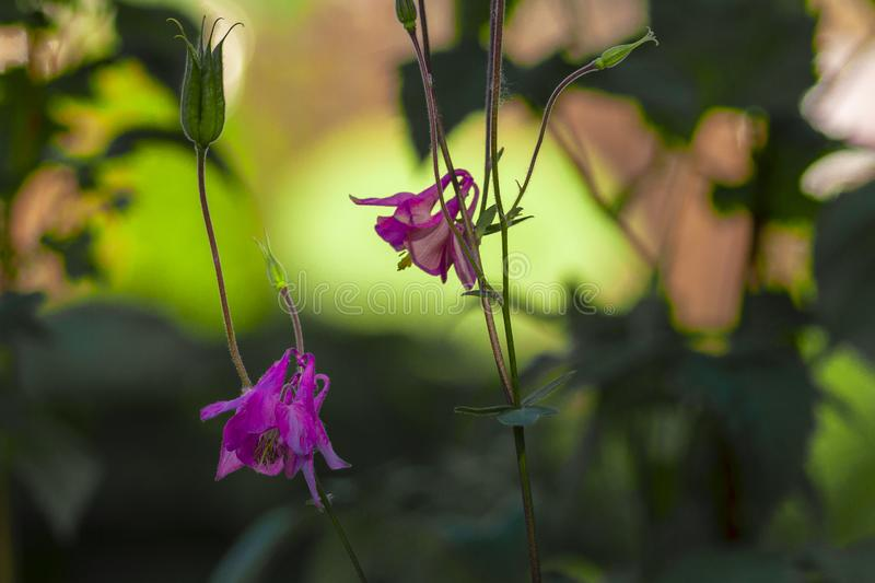 Two pink bellflower flowers on a sunny summer day in Siberia against the backdrop of vegetation. royalty free stock photo