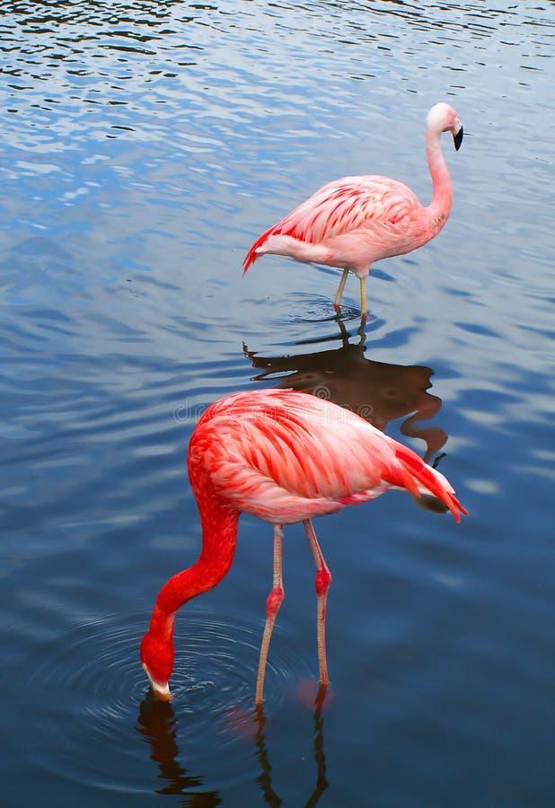 Two pink flamingo birds