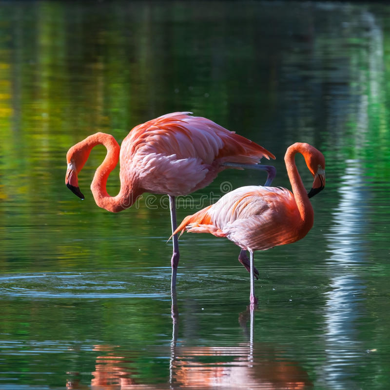 Two pink flamingos stand in the water with reflections stock photos