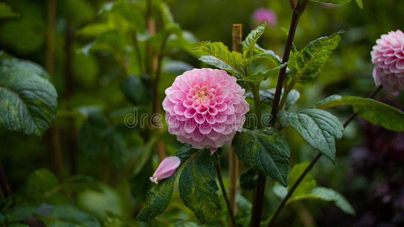 Two pink flower royalty free stock images