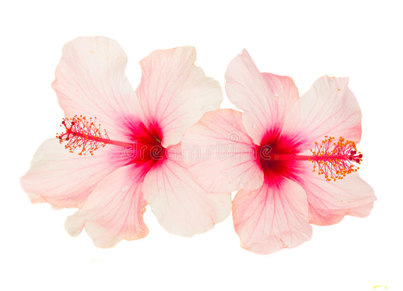 Two pink hibiscus flowers. Isolated on white background stock photography