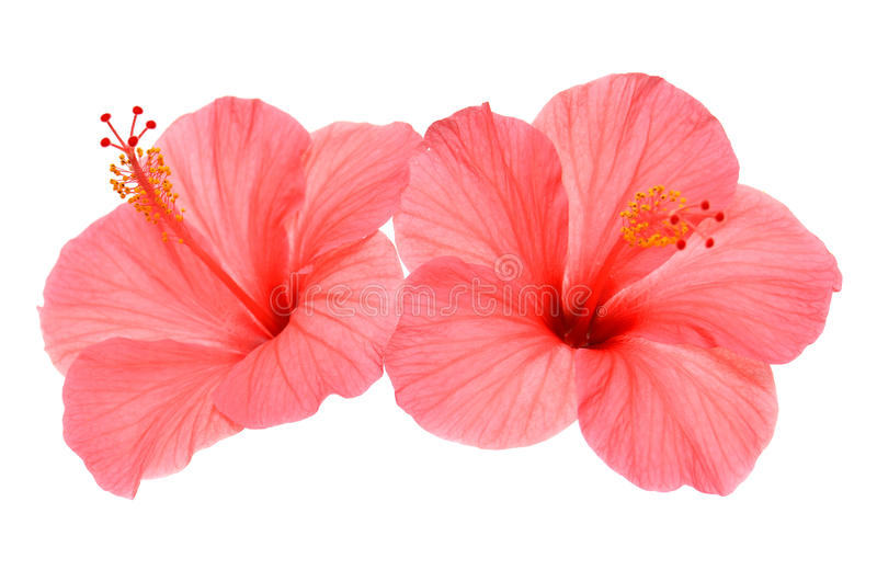 Two pink hibiscus. Isolated on white background royalty free stock image