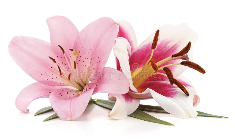 Two pink lilies. royalty free stock images