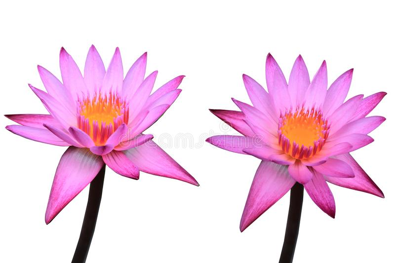 Two pink lotus is beautiful flower on white isolate background stock photography