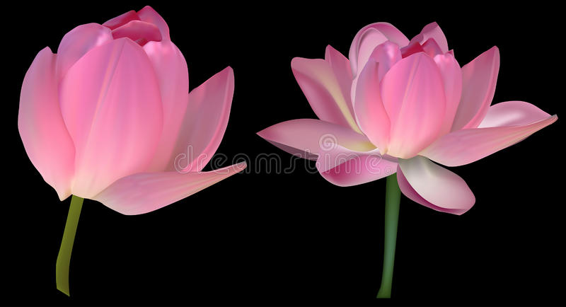 Two pink lotus flowers isolated on black vector illustration
