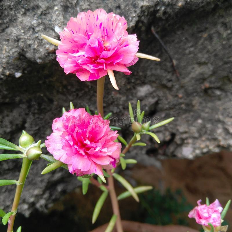 Two pink moss rose flowers blooming in the garden, flowering plant, cement stairs background. Flora, floral, green, leaves, plantation, horticulture, closeup stock photography