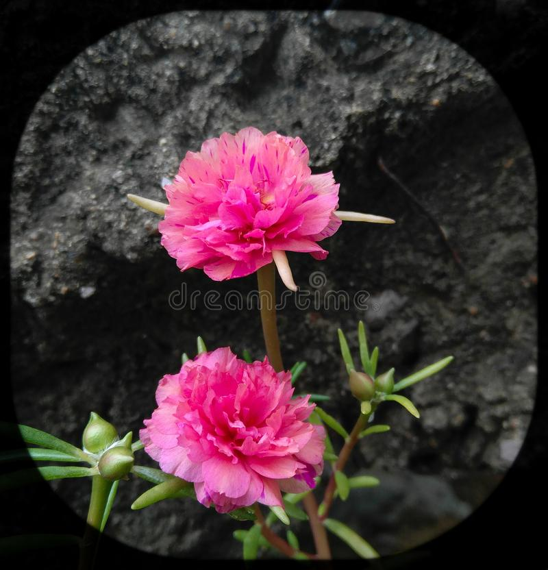 Two pink moss rose flowers blooming in the garden, flowering plant, cement stairs background. Flora, floral, green, leaves, plantation, horticulture, closeup stock photo