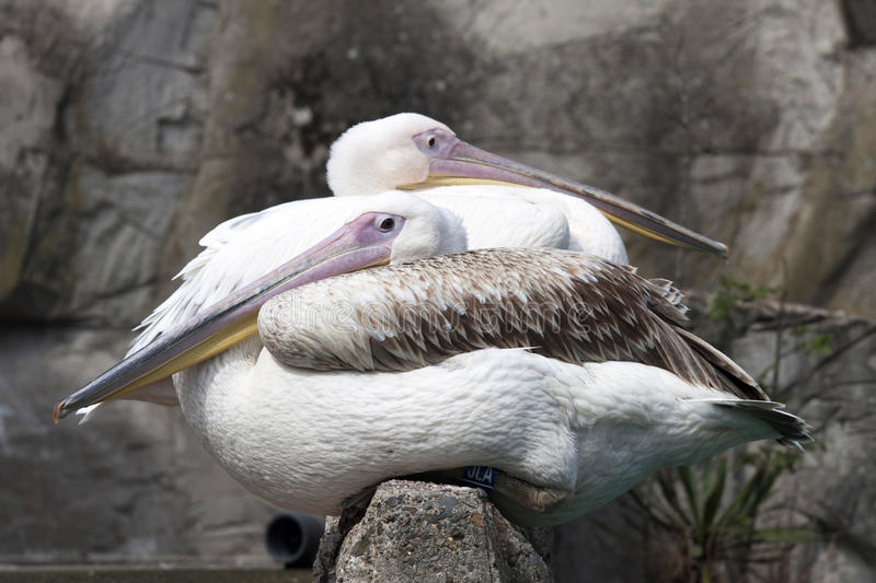 Pelicans. Two pink pelicans sit on a rock stock photo